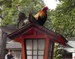 谷保天満宮の鶏.JPG